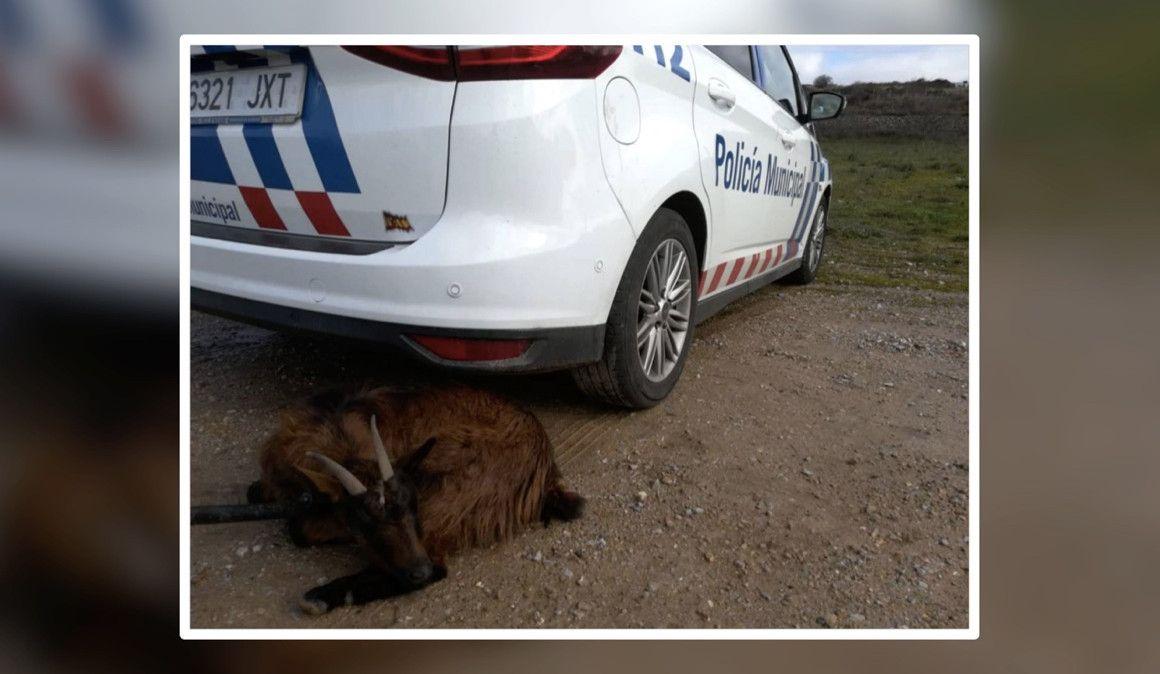 La Policía retiene a una cabra que perseguía a un corredor